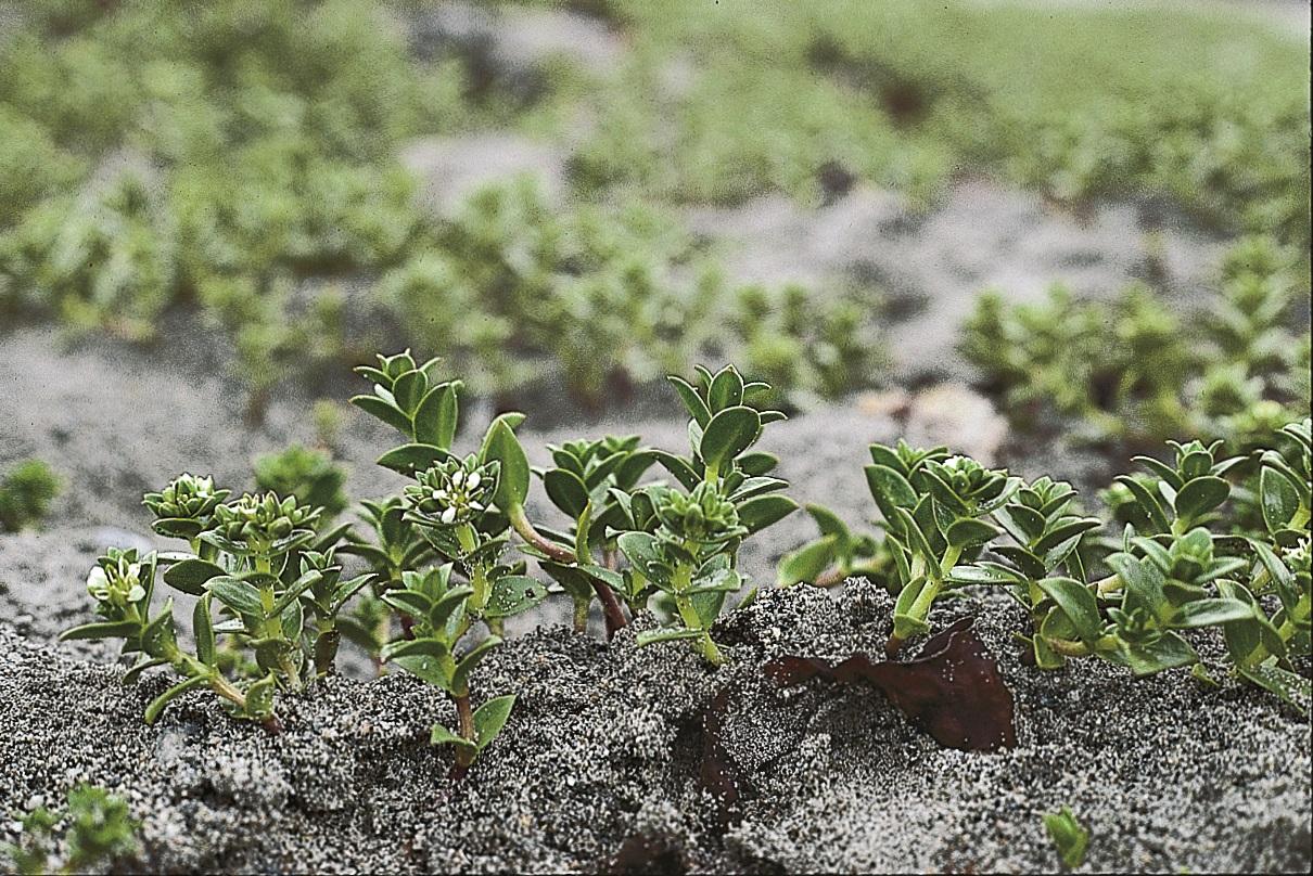 Seaside sandplant