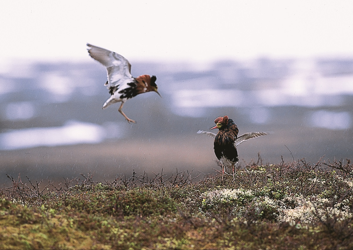 Ruffs doing their mating dance.
