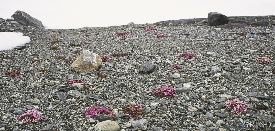 Tuer med rødsildre i grus på Finse.