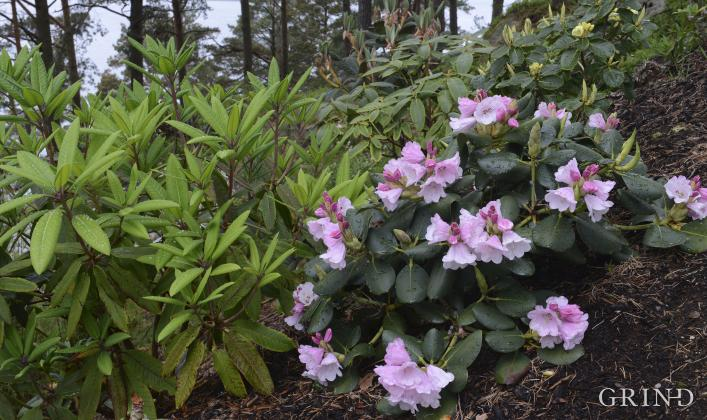 Frodige rhododendronplantar i furuskogen.