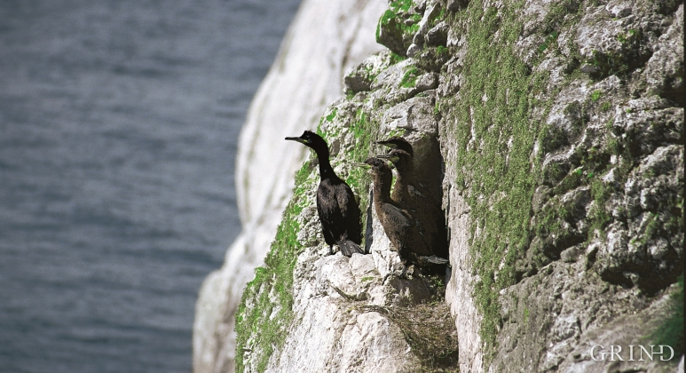 A flock of three youngsters is a lot for a shag, and is testimony to a good nutrient supply in the sea right by the nesting site.