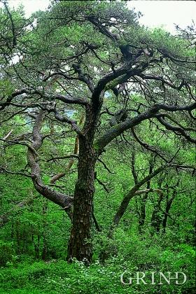 Old pine forest (Bjørn Moe)
