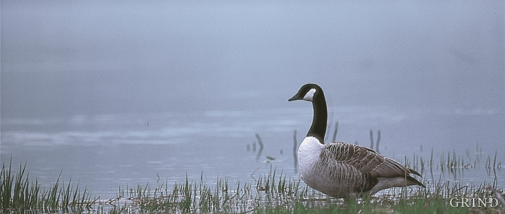Candada goose