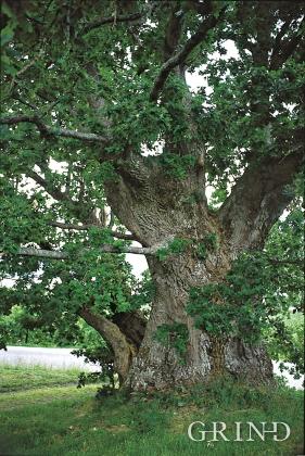 Bridal oak