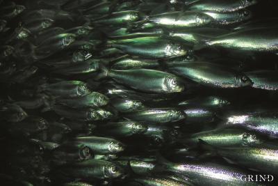 Silda – en utpreget stimfisk – har betydd mye for bosettingsmønsteret langs kysten av Hordaland.