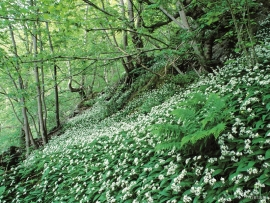 A deciduous forest slop with Bear's garlic.