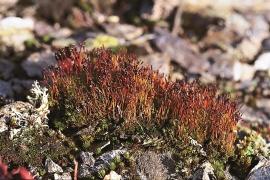 Lemming moss