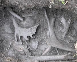 1700 år gamle bein og gevir av store reinsbukkar i avfallsdyngja utanfor Sørbu.