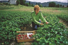 Dagny Tellevik harvests the year's crop.