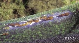 Lakselus, eit problem i oppdrettsnæringa, forplantar seg også til villaks og sjøaure