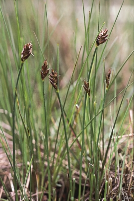 Saltmarsh flat-sedge