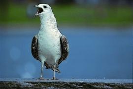 Herring Gull. (Ingvar Grastveit)