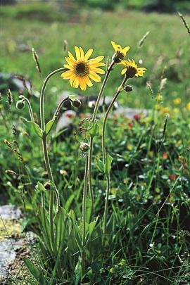 Hordaland's sunflower