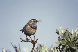 The blue throat