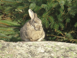Today, we find wild rabbit mostly in the southwest of the main island on Fedje.