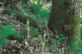 Bird's nest orchid
