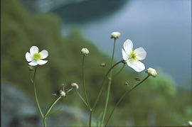 On deep, fertile and moist soil high up in the deciduous forest, one finds large white buttercup