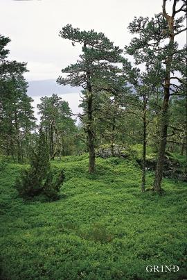 Furuskog på blåbærmark