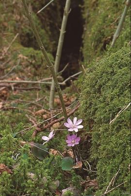 Noble liverwort