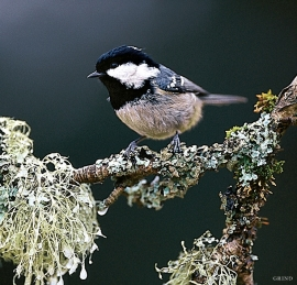 The Coal Tit,  a species that in western Norway is essentially  only found in spruce forest.