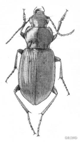 Pterostichus quadrifoveolatus