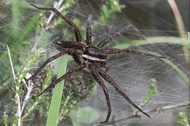 Myredderkoppen