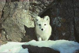 Fjellrevbestanden i Hordaland er i dag nærmest borte, som den er i resten av landet.