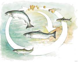 Skjematisk framstilling av livsløpet for villaks (ytre pil) og oppdrettslaks (indre pil). Tallene viser laksens alder.