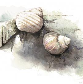 Stor strandsnegl