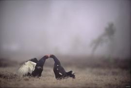 To orrhaner i spill på en skogsmyr i aprilskodda