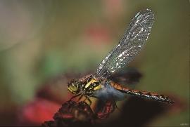 Torvlibelle i Iglatjødno