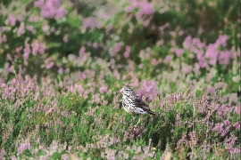 The Meadow Pipit