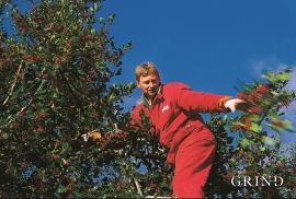 Hans Langeland er i gang med haustinga i kristtornskogen på Søre Bjelland