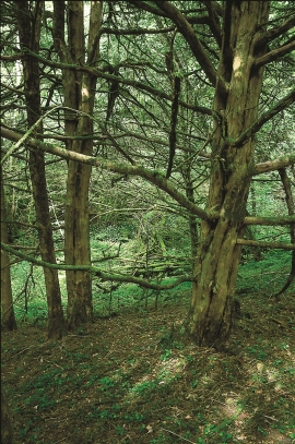 English yew tree forest