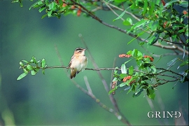 Sedge warbler, rare to see, but easy to hear