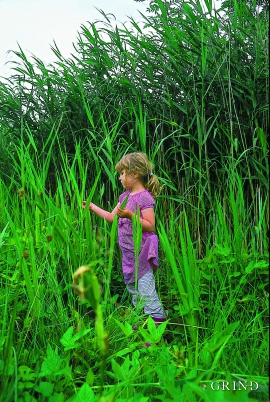 The common weed, Norway's tallest grass