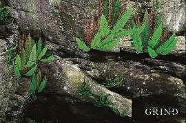 Den vintergrøne falkbregnen, veks i sprekkar i dei kalkrike berga