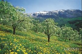 Fruktbløminga i Hardanger