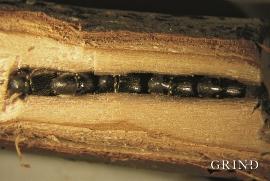 Nyutvikla lauvtreborkbiller overvintrar inne i gangane som morbilla har laga