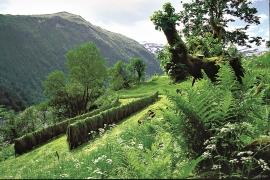 På Ulvund blir graset framleis tørka i hesjer