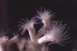 Lophelia pertusa