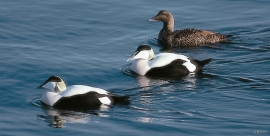 The eider population at Bømlo has increased sharply during the last decade.