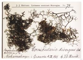 Bryocaulon lichen, from Nesheimshorgi.