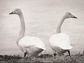 Song swans in Lake Frøland