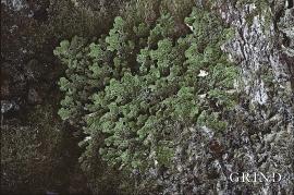 Lungenever – eit lav som er vanleg på trestammer av ask, alm og lind langs fjorden innanfor Skånevik.