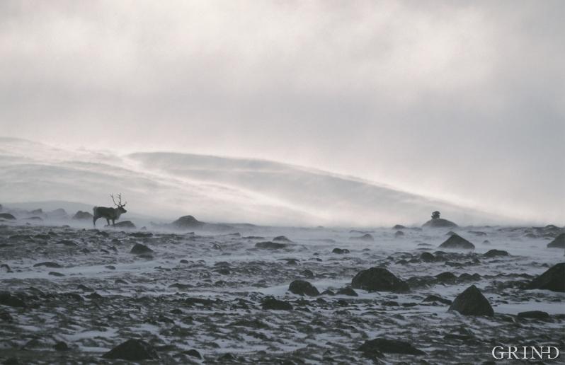 Det er til å undres over at et så stort dyr som reinen greier å overleve i den karrige vestnorske fjellheimen. Den nøysomme laven er reinens vintermatkammer – et fascinerende eksempel på naturens finstilte balanse. (Knut Strand)