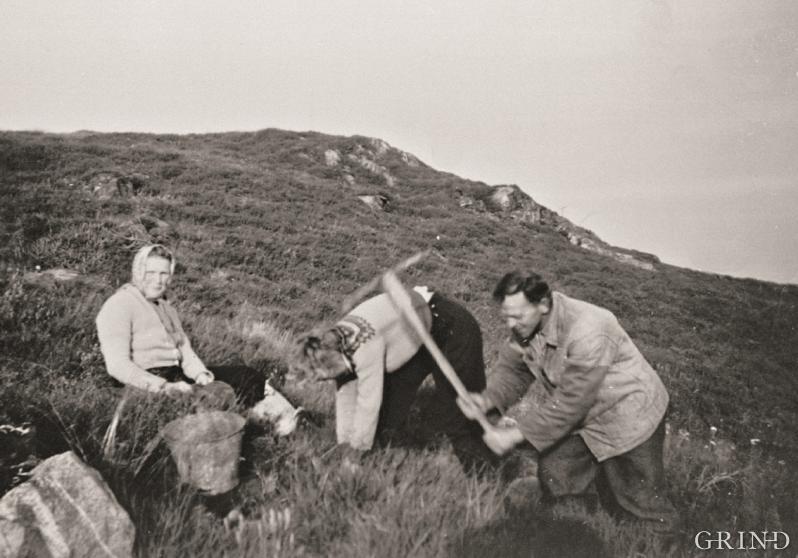 Skogplanting på Bakka i Austrheim ca. 1965
