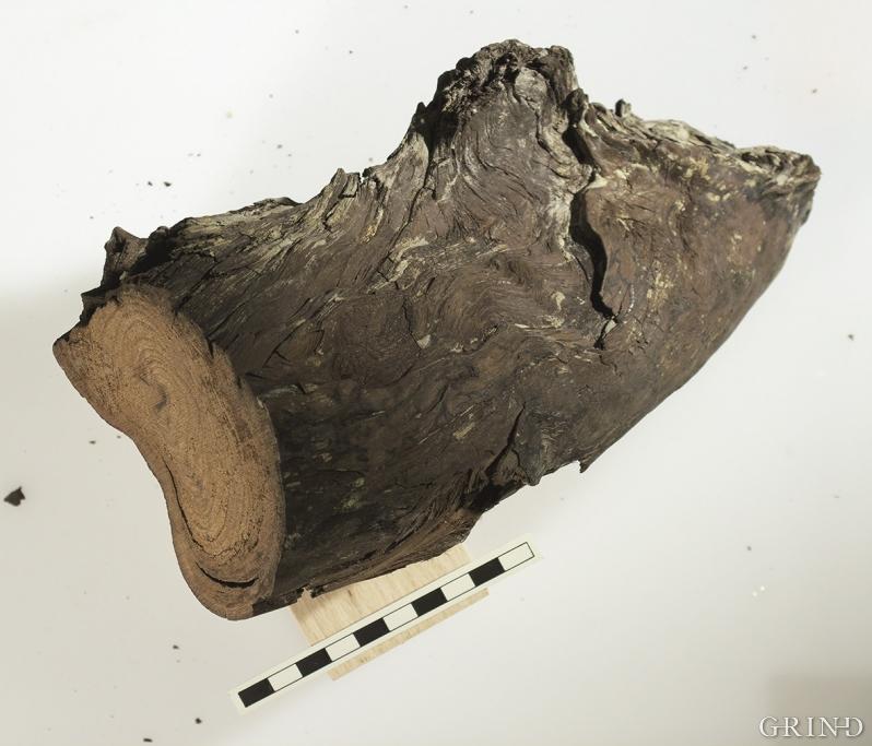 En 120 000 år gammel granstokk fra utgravingene på Fjøsanger