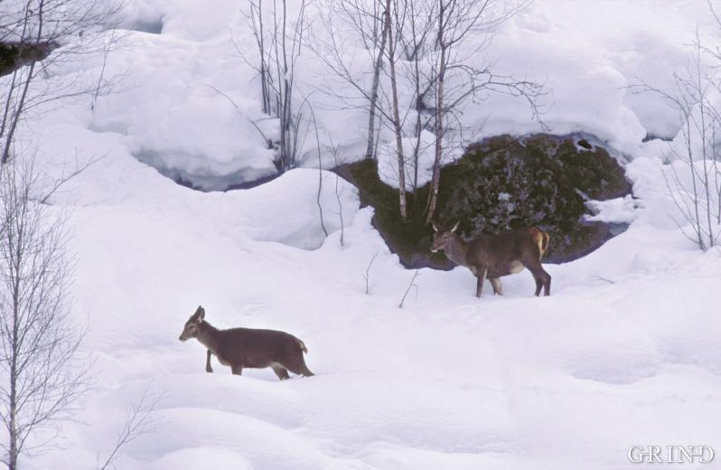 Store snømengder kan vera brysamt for hjort