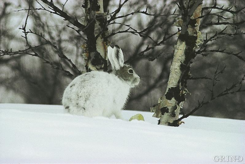 Haren finst mange stader i Hordaland, men sjeldan særleg talrikt
